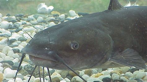 Catfish Controversy in Kentucky waters - WDRB 41