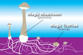 Magic Mushrooms   Buy our truffles and grow kits online