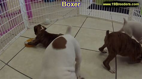 Boxer, Puppies, Dogs, For Sale, In Raleigh, North Carolina