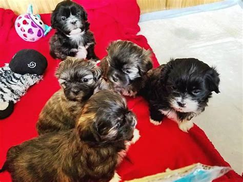 Five Shih tzu puppies available to be rehomed in Raleigh