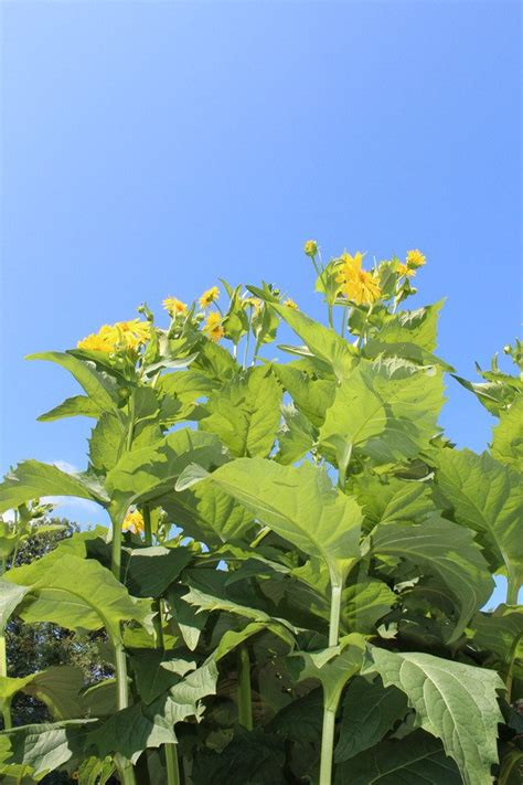 Tall Yellow Flowered Plant | Flowers Forums
