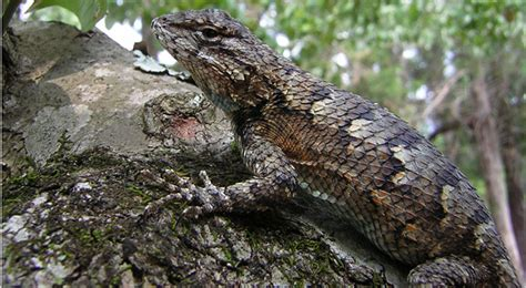 Geography Has a Hand in Lizards' Gestation - The New York