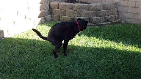 My dog pooping on the lawn - YouTube