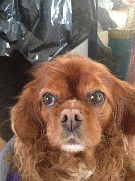 Cavalier King Charles Spaniel | Facts and Information | VioVet